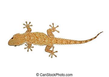 pequeño, lagarto,  gecko