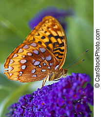 Great Spangled Fritillary butterfly - A macro shot of a...