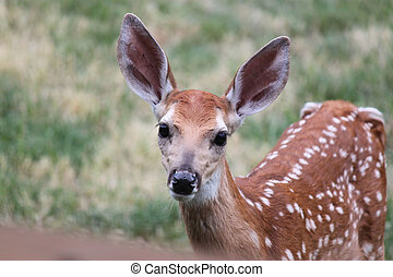 One Month Old Whitetail Fawn - This fawn is watching me...