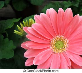 Pink Gerber Daisy Background - Pink gerber daisy closeup...