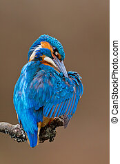 Kingfisher perched on a branch - Photo of an adult...