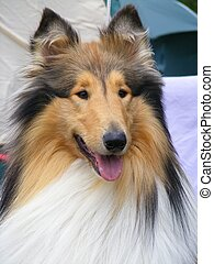 Brown rough collie portrait - Tricolour beautiful rough...