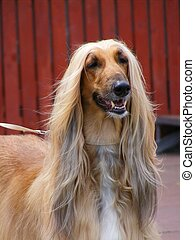 Afghan hound - Beautiful smiling brown afghan hound Persian...