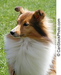 Brown sheltie - Cute brown shetland sheepdog sheltie...