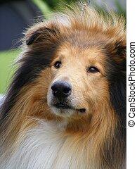 Brown rough collie portrait - Tricolour beautiful rough...