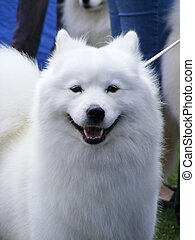 White samoyed portrait - Smiling white samoyed dog portrait