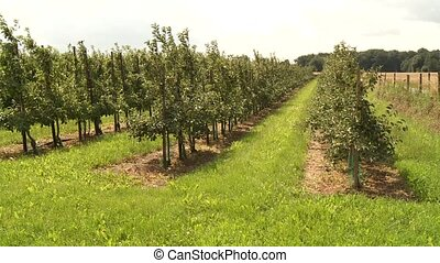 Plantation With Apple Trees