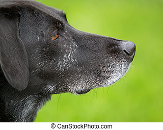 Dog - Black Labrador Retriever