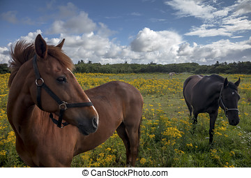 Horses on a Danish field with yellow flowers