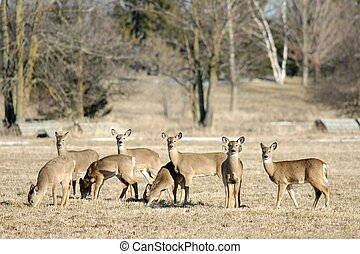 Herd of Deer - Herd of deer in a golden field