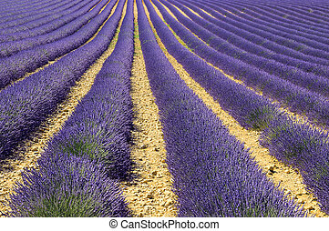 mage shows a lavender field in the region of Provence,...