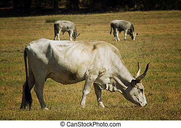Cows in Maremma Tuscany landscape