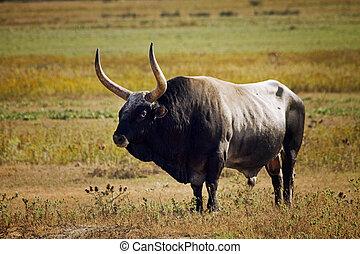 bull Maremma, Tuscany landscape