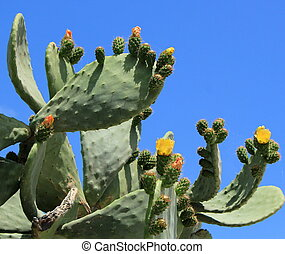 Cactus nopal flowers - Chumbera nopal cactus plant with...