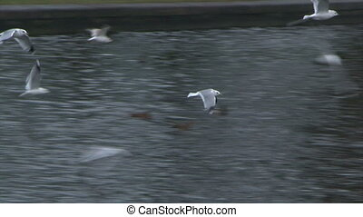 Gulls fly above a river