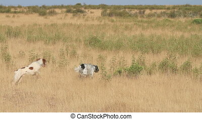 Pointer dogs - pointer pedigree dogs pointing in the field