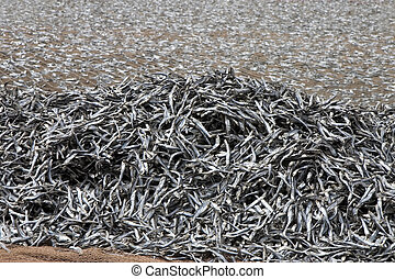 Fish drying on the net in La Graciosa island, Canary...