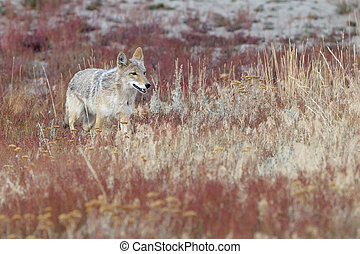 Coyote walking in High grass
