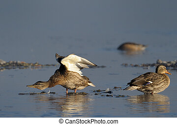Two femal Mallard Ducks in water