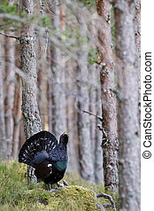 Capercaillie Tetrao urogallus adult male displaying - Photo...