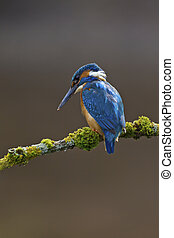 Common Kingfisher Alcedo atthis adult male - Photo of a...