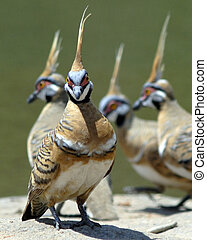 Spinifex pigeons at the waterhole - Spinifex pigeons...