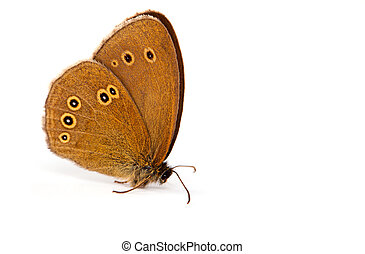 Ringlet butterfly (Aphantopus hyperantus), isolated on white background