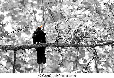 The Sooty Thrush./ (Turdus nigrescens) - The Sooty Thrush./...