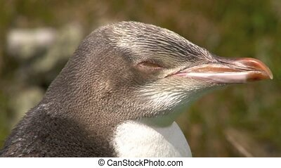 Yellow-eyed Penguin - Yellow-Eyed Penguin portrait