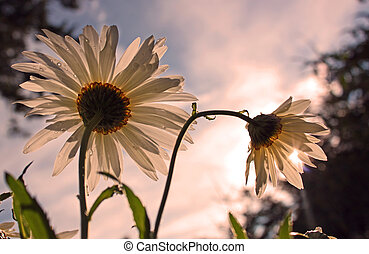 two front lit daisies