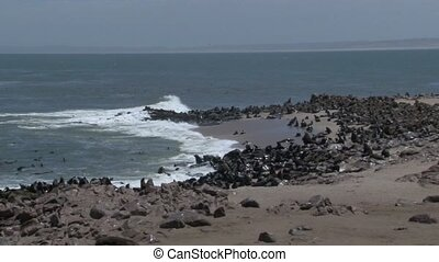 Cape Fur-Seals on shoreling
