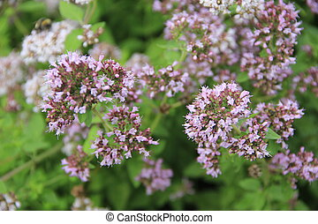 Oregano - Origanum vulgare - flowering oregano (Origanum...