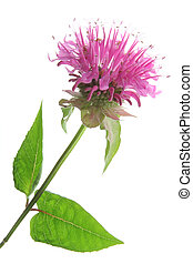Oswego tea - Monarda didymy - Flower and leaves of Oswego...