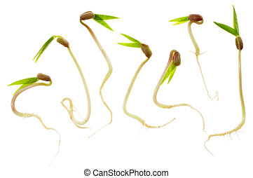 Bean sprouts - Closeup of seven mung bean sprouts isolated...