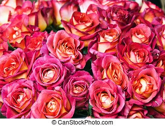 Red Roses background. Focus on central colors