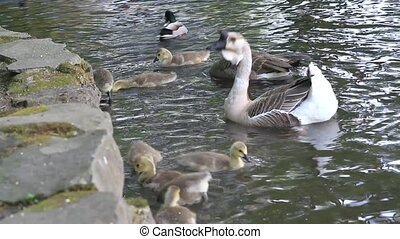 Geese Feeding in Pond - Geese and goslings swimming and...