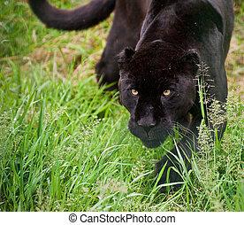 negro, jaguar, Panthera, Onca, Merodear, thorugh, largo,...