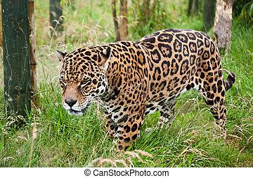 Stunning jaguar Panthera Onca prowling through long grass -...