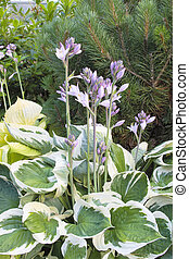 Variegated Leaf Hostas in Bloom - Hostas with Flower...