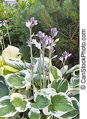 Variegated Leaf Hostas in Bloom - Hostas with Flower...