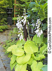Hostas in Bloom Along Garden Path - Hostas with Flowers...