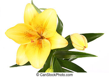orange lilly flower on white background