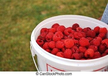 fresh picked raspberries - fresh picked juicy raspberries in...