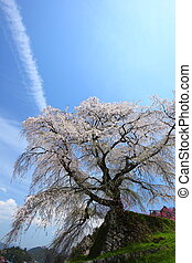 Japanese cherry tree - Name is Matabeezakura old cherry...