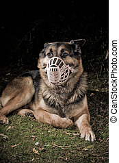 dog with muzzle - German Shepherd dog wearing a muzzle