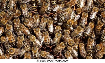 Bees inside the hive - Bees always work Currently they...