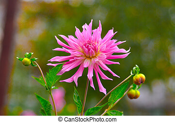 Pink Aster Michaelmas daisy close-up, Moscow region, Russia...