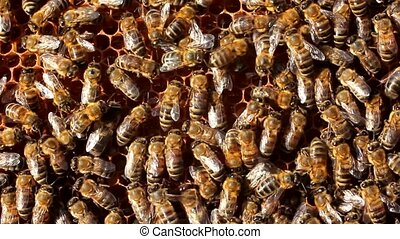 Bees inside the hive - Bees always work. Currently they...