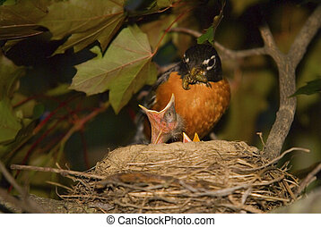 Baby Birds Mother Robin Feeding Chick - A mother robin...