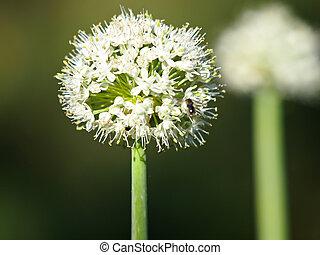 onion flower in the summer garden